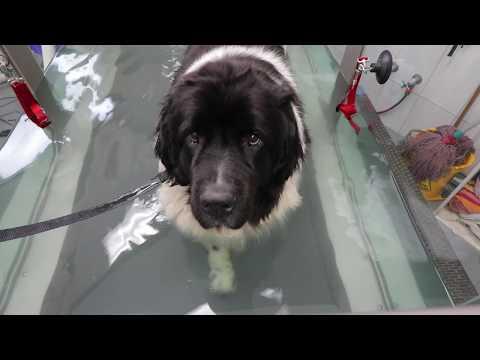 My Newfoundland Dog: CoCoBaby Underwater Treadmill Treatment