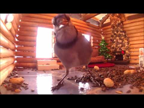 Bird Feeder - Log Cabin  - The Blue Jays Videos For Cats