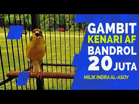 Download Lagu SUARA BURUNG : Gambit Kenari Kecil Gacor 20 Juta Doyan Telur Puyuh