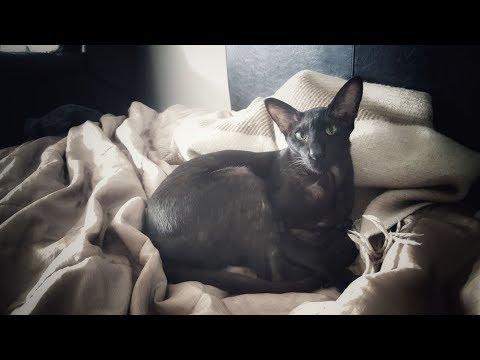 Ciceron Black Oriental Cat Likes Belly Rubs