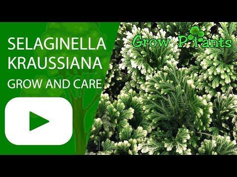 Selaginella Kraussiana - Grow And Care (Spikemoss)