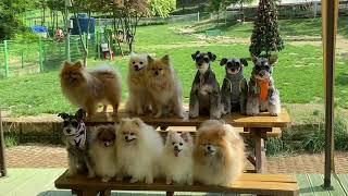 스피츠 하츠 포메라니안 토비 / 강아지들 단체사진 찍는…