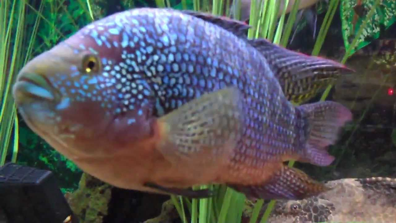 125 gallon fish tank oscars dempsey big parrot tin foil for Tin foil fish