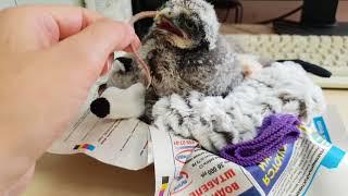 Метаморфозы маленькой совы с 9 по 16 день от вылупления. Совёнок ястребиной совы. Hawk owl baby