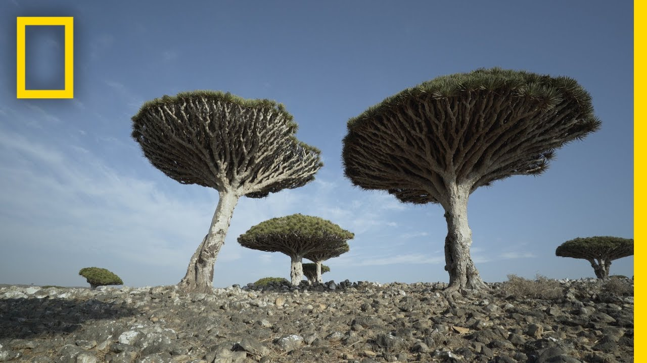 Dragons Blood Trees of Socotra Are Endangered | National Geographic