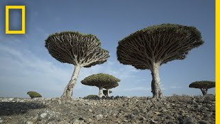 Dragon's Blood Trees of Socotra Are Endangered | National Geographic