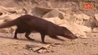 Mongoose VS COBRA Fight - Best Compilation