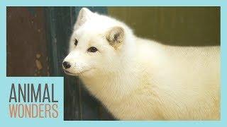 Meet and Greet: Tigli the Arctic Fox!