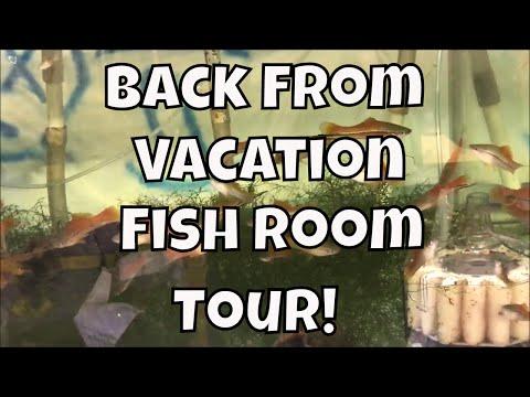 Back From Vacation Around The World Fish Room Update Guppy Fish Platies Mollies Angelfish VLOG