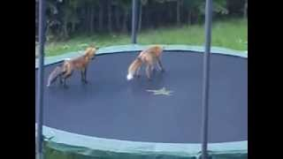 NEW - fox's return to my Trampoline for more fun