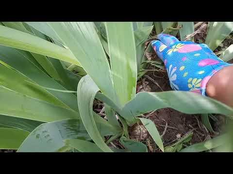 Вопрос: Надо ли укорачивать листья у ирисов и у брунеры при делении?