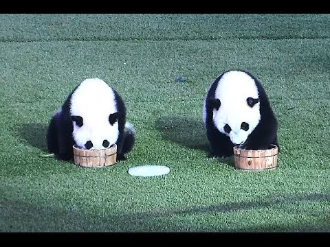 World's Only Panda Triplets Celebrate 3rd Birthday in Guangdong