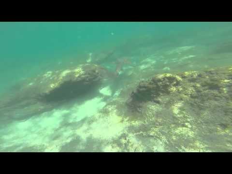Snorkeling Bathtub Beach Stuart Florida..SHARK