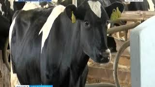 На юге Красноярского края будут разводить племенных коров из Чехии