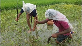 Hand Fishing In Beautiful Rainy Day From Harvest Field- Beauty Of Bengali Village Nature