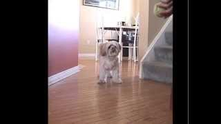 Lhasa Apso Small Dog Fetching Ball Indoors Agility Training