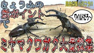 クワガタ&カブトムシ☆昆虫採集2017 恐怖の新ポイント発見!ミヤマクワ...
