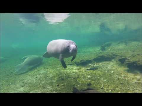 manatees manatee and warm water Manatees antillean manatee: scientific manatees often congregate near the warm-water outflows of power plants along the coast of florida.