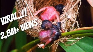 Cuckoo Burung Rakus dan Serakah Yang Menjadi Mimpi Buruk Semua Ibu