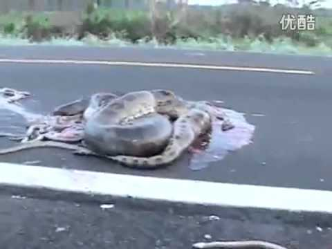 Pregnant Anaconda Accident, baby anaconda died