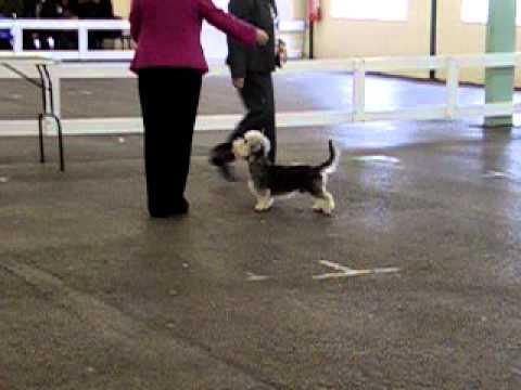 Dandie Dinmont Terrier - Boris