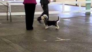Dandie Dinmont Terrier  Boris