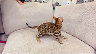 ВЛОГ Купили КОШКУ ! Маленький леопард у нас дома ! Ванильная Семья