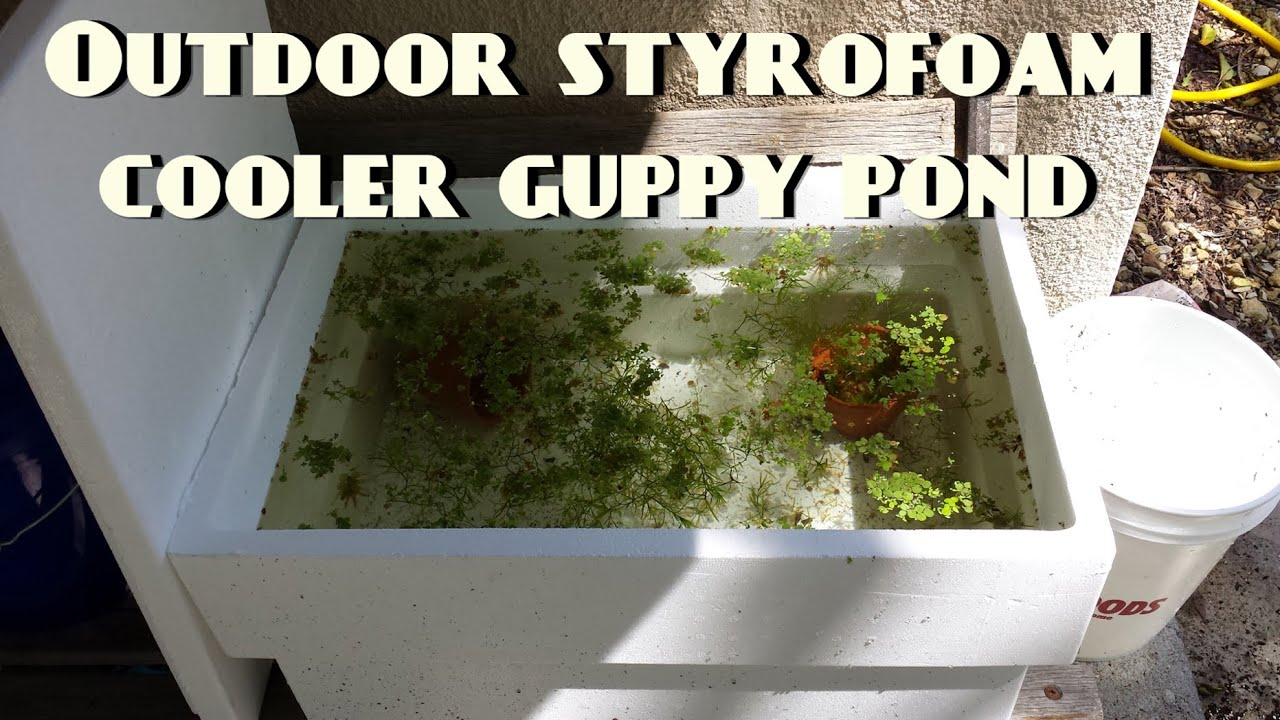 Outdoor styrofoam cooler guppy pond youtube for How to build an outdoor aquarium