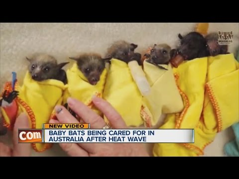 Baby bats being cared for in Australia after heat wave