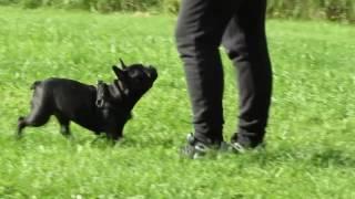 Обучения щенка французского бульдога ( урок наведения)