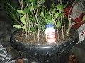 Cara Stek dengan root up/root most/rotoone f