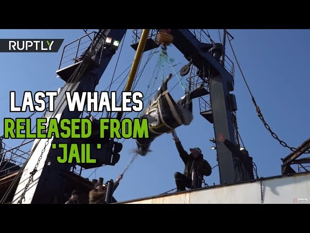 Last six whales released from 'jail' & to be transported to the Sea of Japan
