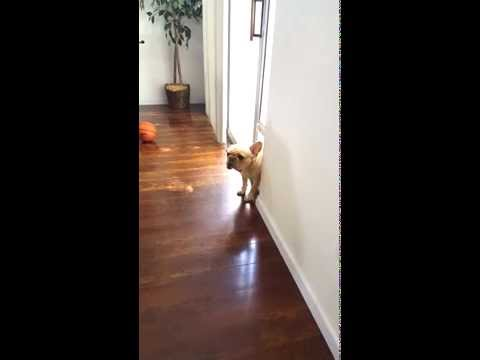 French Bulldog can't hide his guilt