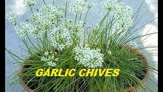 HOW TO GROW GARLIC CHIVES FROM SEED.