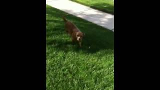 Holly , Beagle /spaniel Mix Aaofus