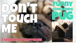 Don't touch me - funny screaming pug 🔸 7 second of happiness FUNNY Video 😂 #355