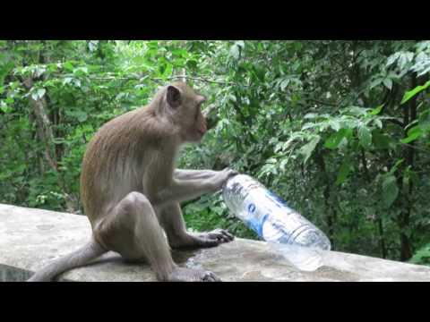 un singe boit de l'eau