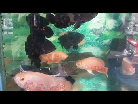 cá tai tượng châu phi size 12cm giá 60k/1 con
