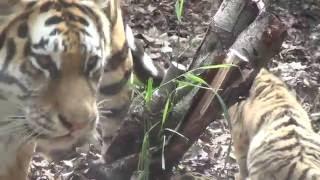 旭山動物園のアムールトラの子2頭と母親のザリア。 一般公開開始日の様...