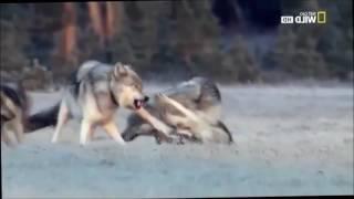 Черный Волк Падали но поднимались