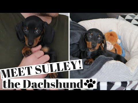 MEET SULLEY OUR MINIATURE DACHSHUND PUPPY!