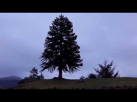 Monkey Puzzle Tree / Araucaria araucana - Another Video