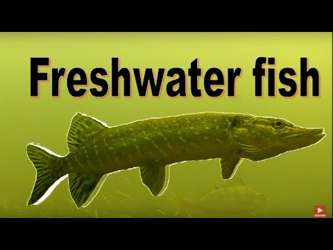 Freshwater Fish In The River Wensum (Norwich) Underwater Documentary