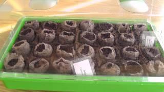 growing jalapeños from seeds