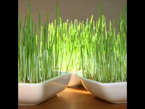 Image result for image de blé de la saint barbe
