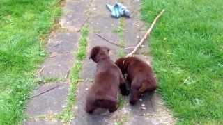 Labrador Pups Eerste Keer Buiten