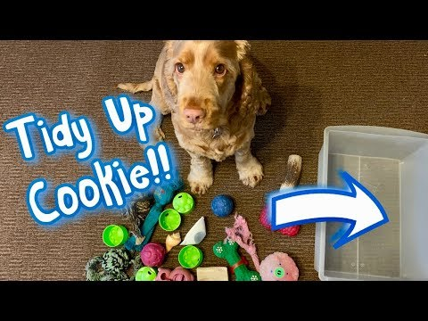Cookies Amazing Trick! Putting The Toys Away - Cute Cocker Spaniel