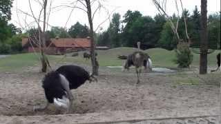Wrocław Zoo, Poland. Ostriches / Strusie afrykańskie