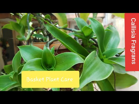 03.How To Grow and Care Callisia Fragrans /Basket Plant/Chain Plant/Octopus Plant