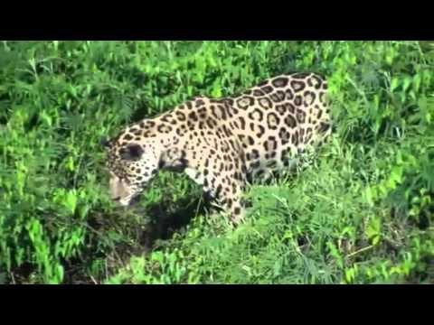 Jaguar attacks crocodile under the Water Jaguar vs crocodile / Ягуар против Крокодила